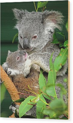 Koalas Wood Print by Bildagentur-online/mcphoto-schulz