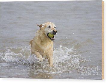 Labrador-mix Retrieving Ball Wood Print by Geoff du Feu