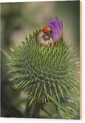 Ladybug On Thistle Wood Print by Janis Knight