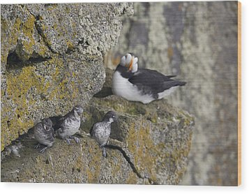 Least Auklets Perched On A Narrow Ledge Wood Print by Milo Burcham