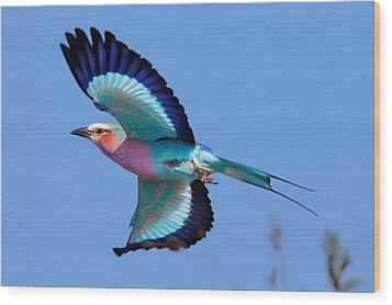 Lilac-breasted Roller In Flight Wood Print by Johan Swanepoel