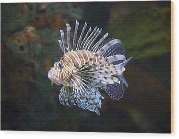 Lionfish - Gatlinburg Tn Ripleys Aquarium Wood Print by Dave Allen