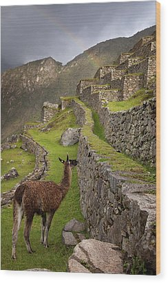 Llama Stands On Agricultural Terraces Wood Print by Jaynes Gallery