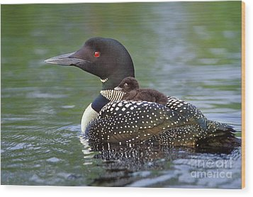 Loon Carrying Chick  45 Wood Print by Jim Block