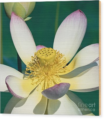 Lotus Blossom Wood Print by Heiko Koehrer-Wagner