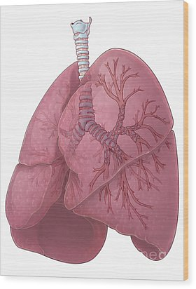 Lungs And Bronchi Wood Print by Evan Oto