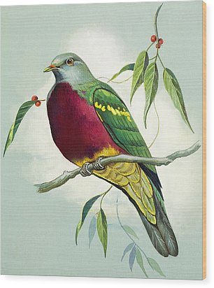 Magnificent Fruit Pigeon Wood Print by Bert Illoss