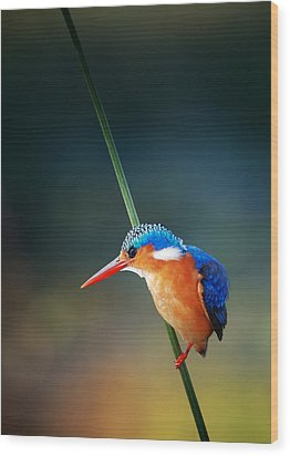 Malachite Kingfisher Wood Print by Johan Swanepoel