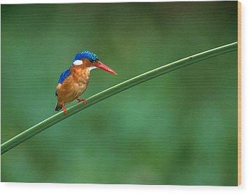 Malachite Kingfisher Tanzania Africa Wood Print by Panoramic Images