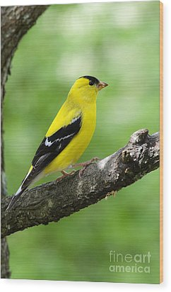 Male American Goldfinch Wood Print by Thomas R Fletcher