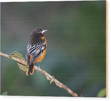 Male Baltimore Oriole, Icterus Galbula Wood Print by Thomas Wiewandt