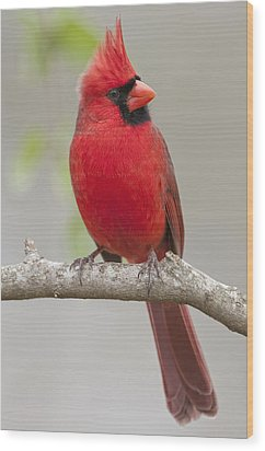 Male Northern Cardinal In January Wood Print by Bonnie Barry