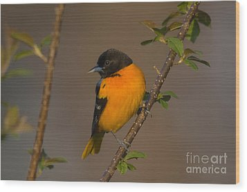 Male Northern Oriole Wood Print by Thomas and Pat Leeson
