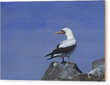 Masked Booby Bird Wood Print by Thomas Wiewandt