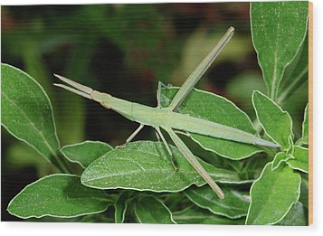 Mediterranean Slant-faced Grasshopper Wood Print by Nigel Downer