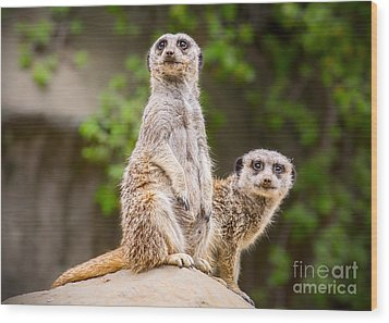Meerkat Pair Wood Print by Jamie Pham