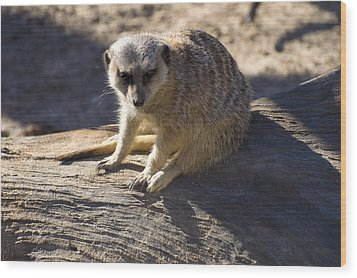Meerkat Resting On A Rock Wood Print by Chris Flees