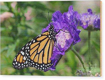 Monarch And Pincushion Flower Wood Print by Steve Augustin