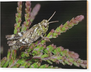 Mottled Grasshopper Juvenile Wood Print by Nigel Downer