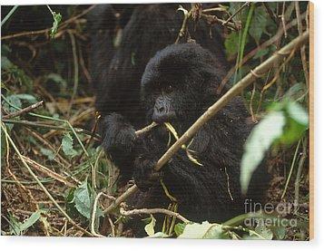Mountain Gorilla Wood Print by Art Wolfe