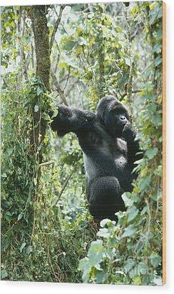 Mountain Gorilla Wood Print by Tierbild Okapia