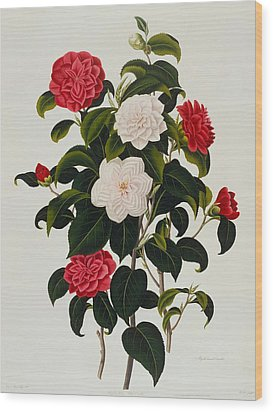 Myrtle Leaved Camellia Wood Print by Clara Maria Pope