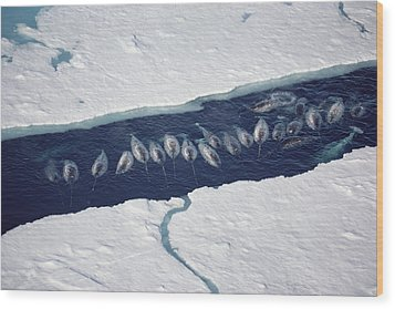Narwhal Group In Ice Break Wood Print by Flip Nicklin