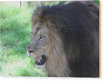 National Zoo - Lion - 011312 Wood Print by DC Photographer