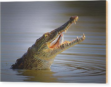 Nile Crocodile Swollowing Fish Wood Print by Johan Swanepoel