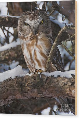 Northern Saw-whet Owl.. Wood Print by Nina Stavlund