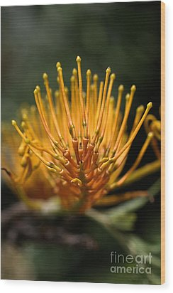 Orange Grevillea Wood Print by Joy Watson
