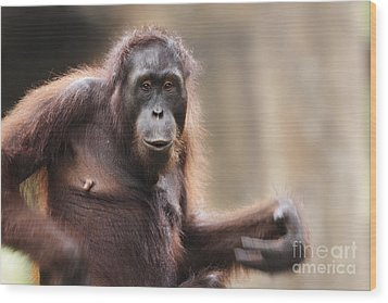 Orangutan Wood Print by Richard Garvey-Williams
