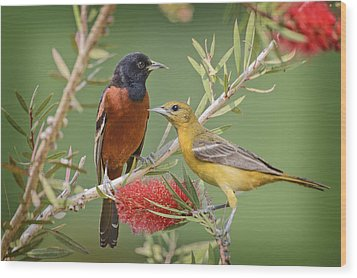 Orchard Oriole Pair Wood Print by Bonnie Barry