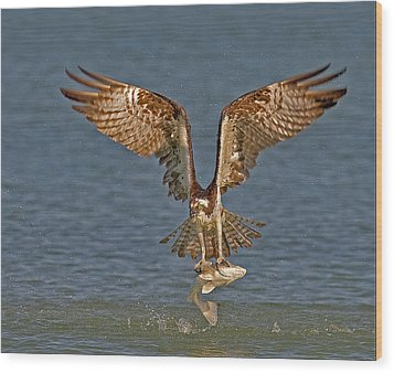 Osprey Morning Catch Wood Print by Susan Candelario