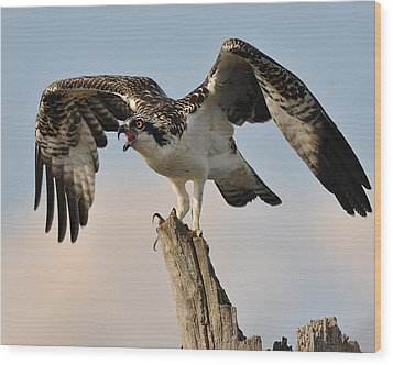 Osprey Scream Wood Print by Angel Cher