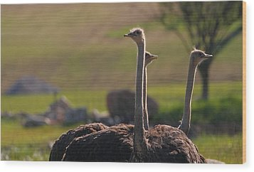 Ostriches Wood Print by Dan Sproul