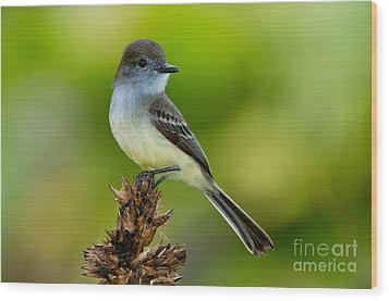 Pale-edged Flycatcher Wood Print by Anthony Mercieca