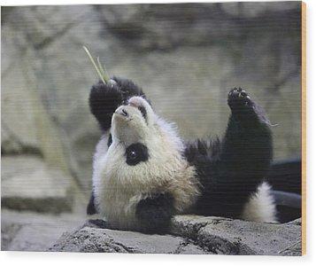 Panda Cub Wood Print by Jack Nevitt