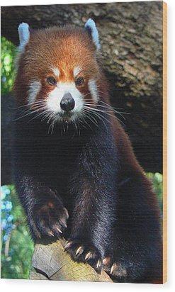 Panda Paws Wood Print by Margaret Saheed