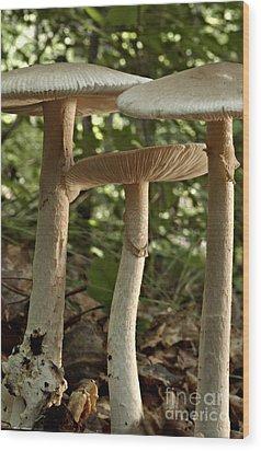 Parasol Mushrooms Macrolepiota Sp Wood Print by Susan Leavines