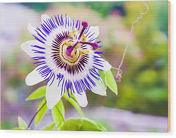 Passiflora Or Passion Flower Wood Print by Semmick Photo