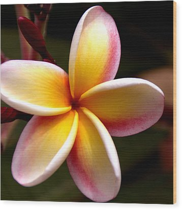 Pink And Yellow Plumeria Wood Print by Brian Harig