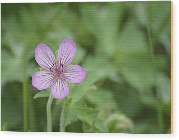 Pink Geranium In Bloom In Yellowstone Wood Print by Bruce Gourley