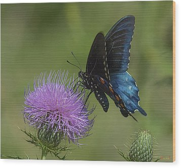 Pipevine Swallowtail Visiting Field Thistle Din158 Wood Print by Gerry Gantt