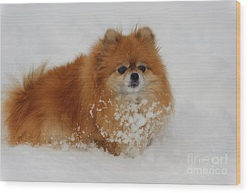 Pomeranian In Snow Wood Print by John Shaw