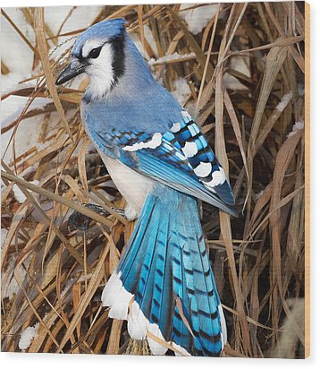 Portrait Of A Blue Jay Square Wood Print by Bill Wakeley