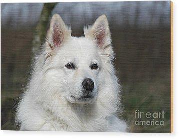 Portrait White Samoyed Dog Wood Print by Dog Photos