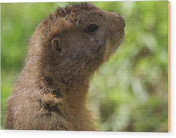 Prairie Dog Portrait Wood Print by Dan Sproul