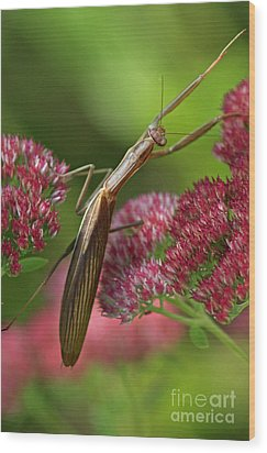 Praying Mantis Climbing Up Sedium Flower Wood Print by Inspired Nature Photography Fine Art Photography