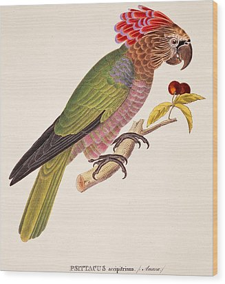Psittacus Accipitrinus Wood Print by German School